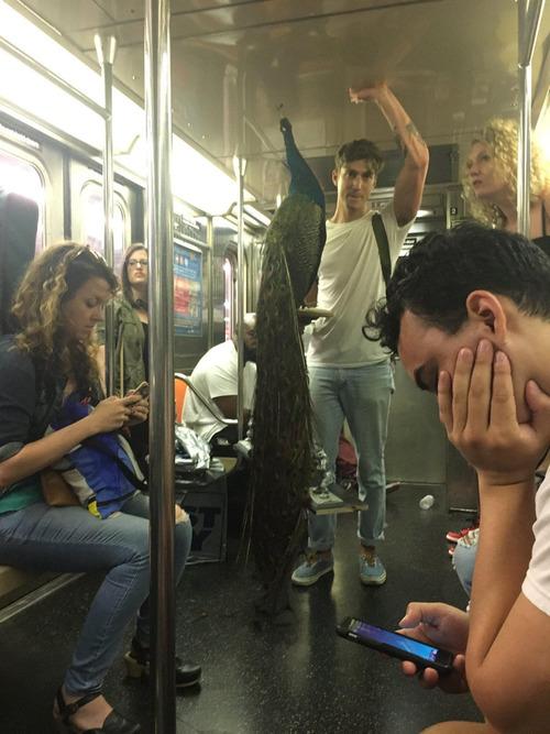 ニューヨークの地下鉄に孔雀01