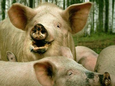 豚の画像 p1_8
