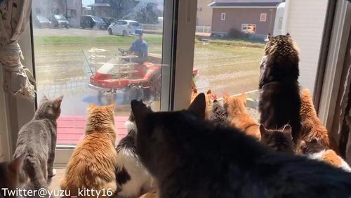 田植えに夢中な猫たち02