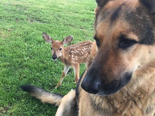子鹿を世話する犬00