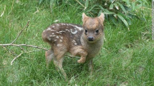 世界最小の鹿プーズー05