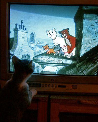 猫の番組を見つめる猫09