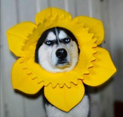 目つきの鋭いハスキー犬にトナカイ衣装09