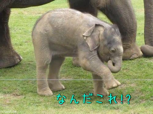 赤ちゃんゾウと鼻00