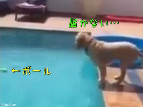 プールからボールを拾い上げる犬00