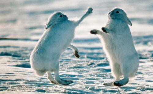 北極ウサギ03