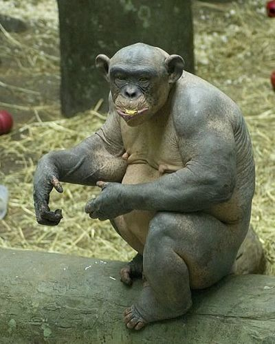 毛が無いチンパンジー03