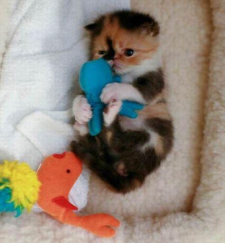 ぶさかわいい猫11