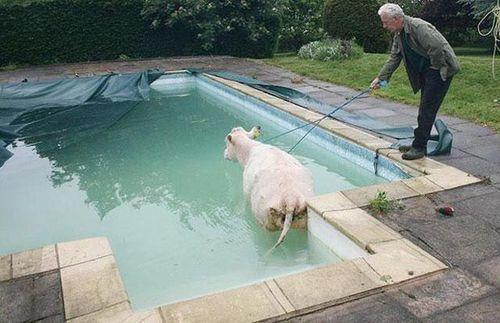 プールに動物12