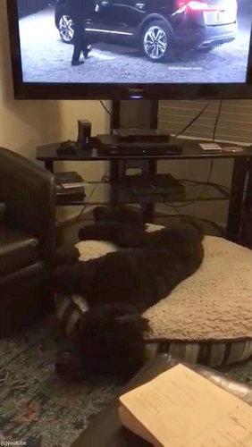 テレビが消えると「よいこは寝る時間」と自室に戻る犬04