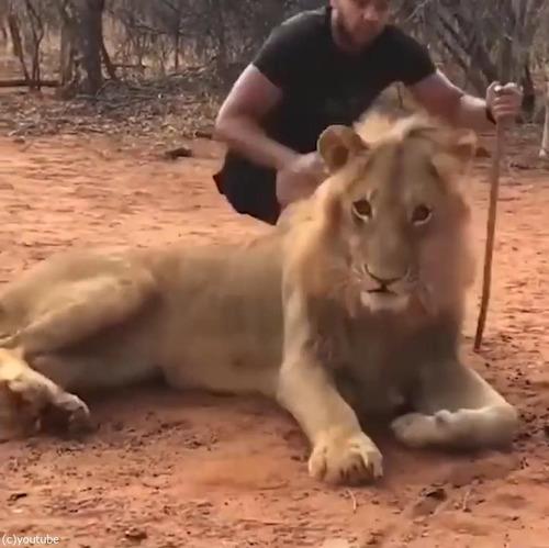 ライオンのクシャミ04