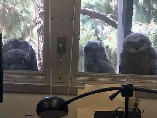オフィスの窓の外で生まれたフクロウたち03