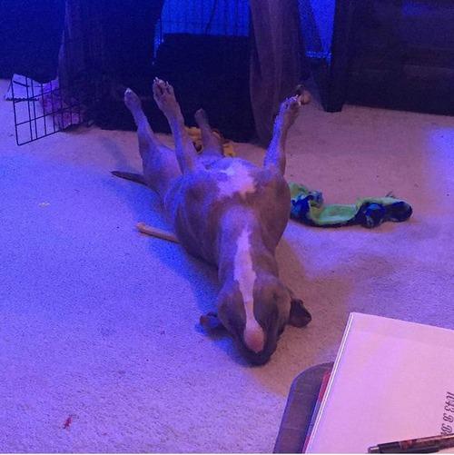 世界一奇妙な姿勢で寝る犬01
