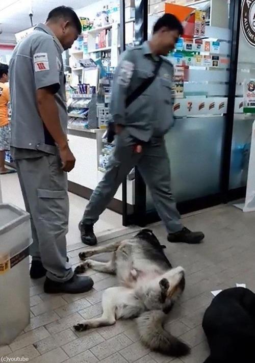 コンビニの前で熟睡する犬03
