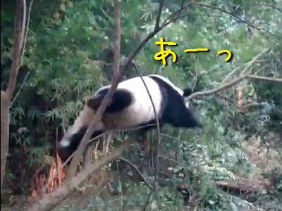 木から落ちたパンダ