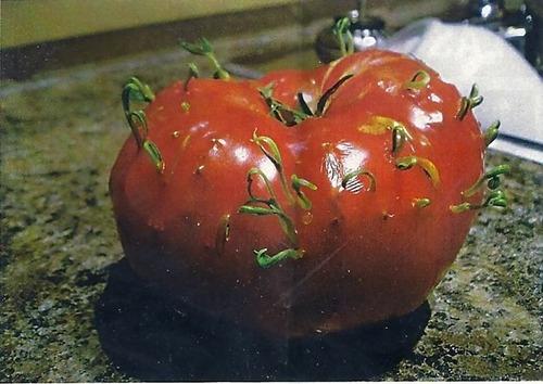 発芽した野菜や果物03