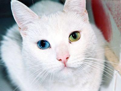 宝石のように美しい左右の瞳の色が違う猫01