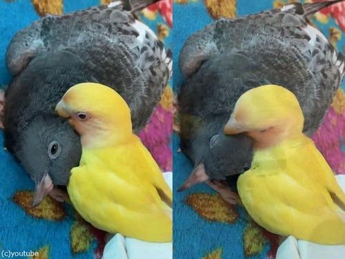 インコとハトが親友01
