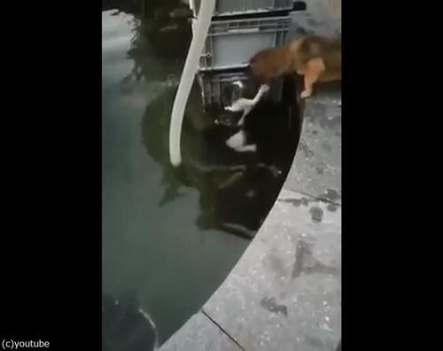 溺れている猫を救出する犬01