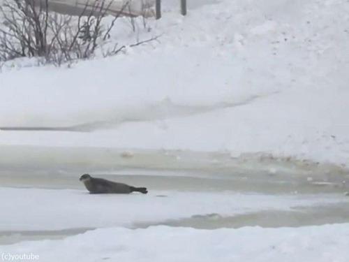カナダの街で40匹のアザラシが迷子に02