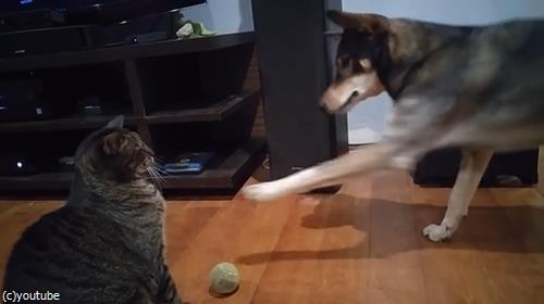 ボールで遊びたい犬と猫01
