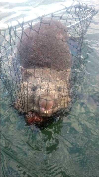溺れかけのウォンバット03