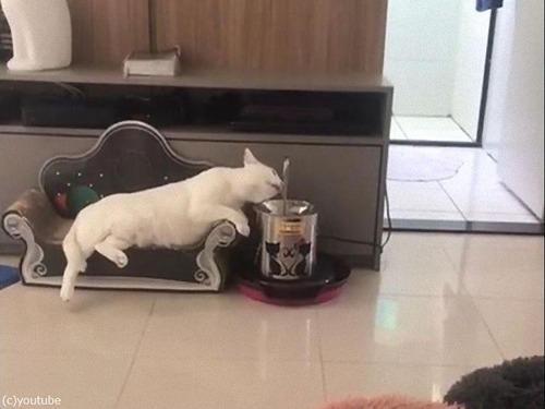 最も優雅に水を飲む猫01