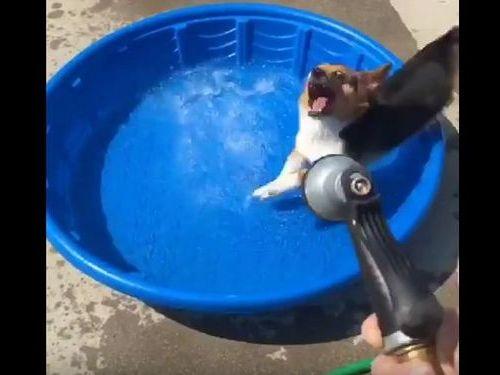 コーギー犬が新しいプールの遊び方04