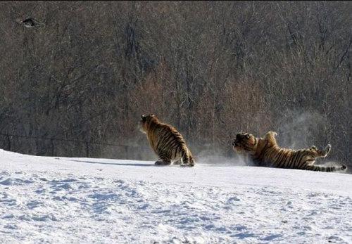 虎のジャンプ失敗05