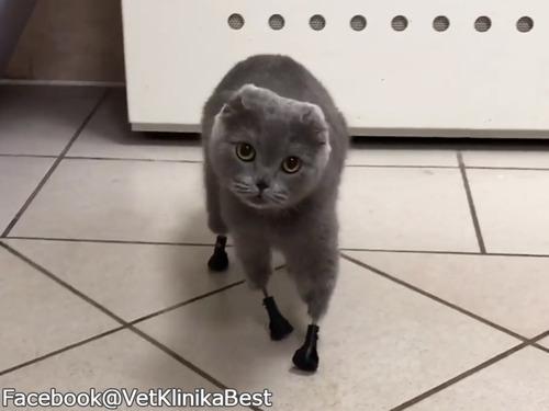 凍傷で脚を失った猫、義足で歩けるようになる00