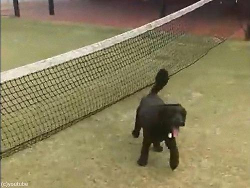 テニスのネットに引っかかった犬の宙返り06