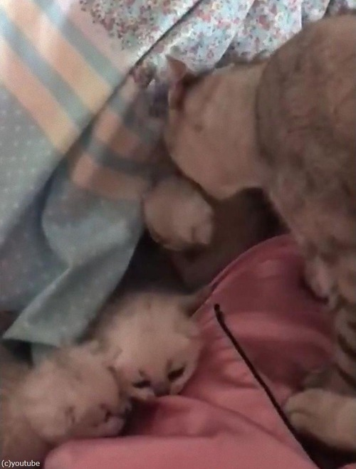 6匹の子猫を生んだママの行動04