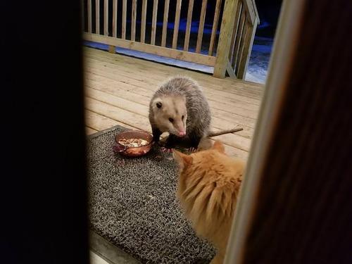 オポッサムにエサを奪われた猫00