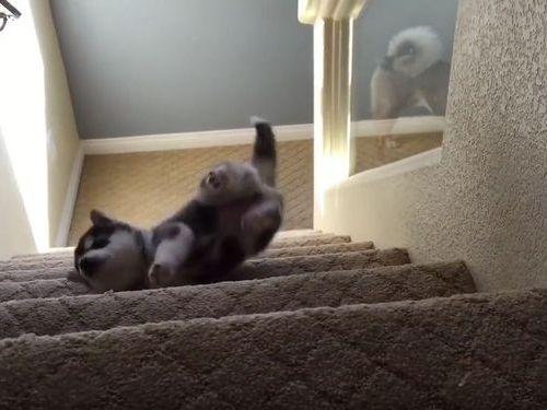 ハスキーの子犬と階段04