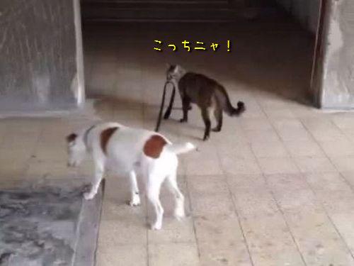 猫が犬を散歩する00