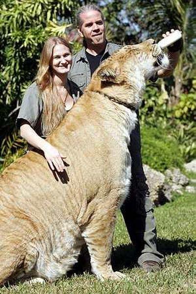 虎とライオンの交配種・ライガー03