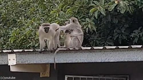 ケガした猿が家族の元へ08
