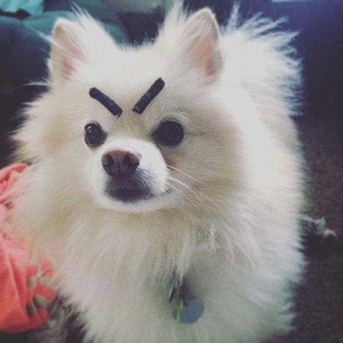 ハロウィン用の口ひげで、犬の眉毛を作ってみた03