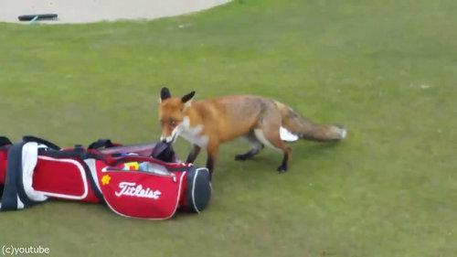 ゴルファーの財布を盗むキツネ02