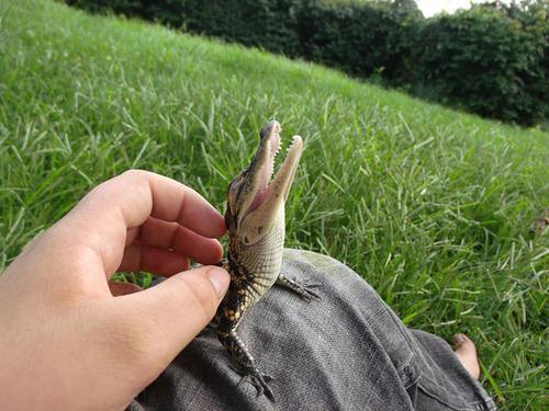 07Baby 赤ちゃん動物たち baby crocodile