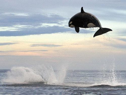 イルカを襲うシャチ02