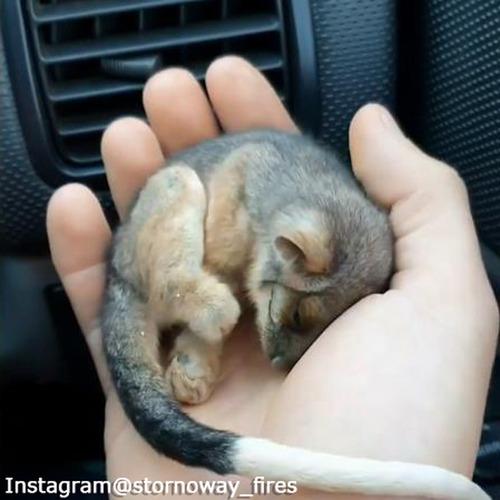 なんて小さいの…山火事から救出された赤ちゃんポッサム01