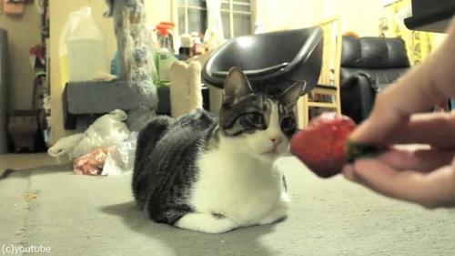 初めてイチゴを見た猫の反応がこちら01