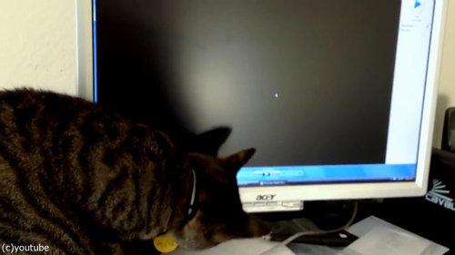 PC画面を見つめる猫05