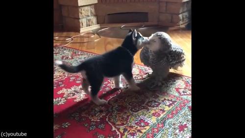 子犬とフクロウの愛情06