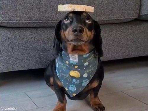 頭の上に8枚のお餅を乗せる犬01