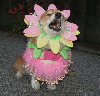 コーギー犬コスプレ19