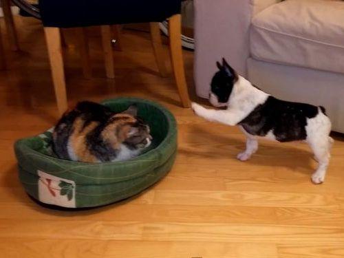 猫からベッドを取り返そうとする犬01
