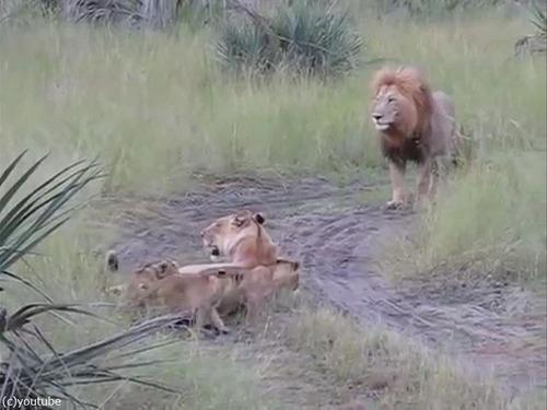 父ライオン「がおおぉ!」子ライオン「きゃおお!」02