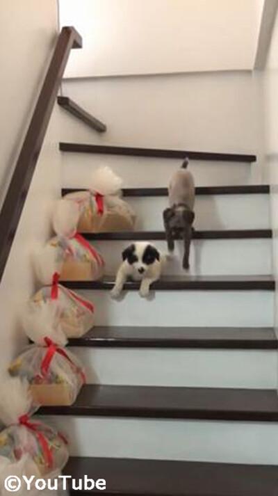 階段を下りられない弟を助けるお姉ちゃんワンコ04